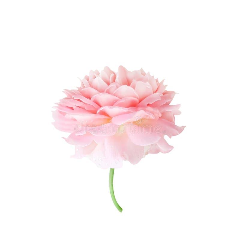 开花与水下落样式和绿色茎,许多的五颜六色的美丽的浅粉红色的玫瑰色花瓣重叠,隔绝  图库摄影