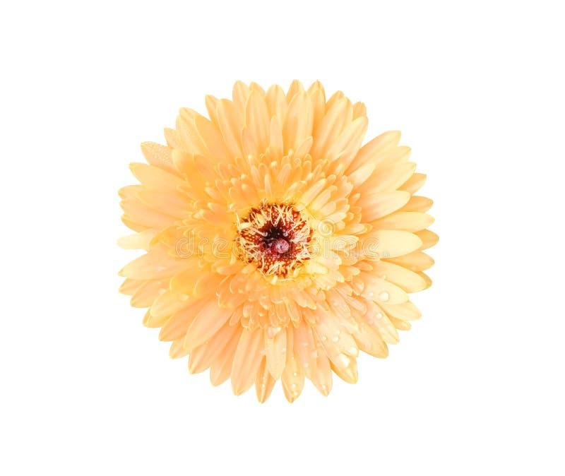 开花与水下落的顶视图美丽的淡桔色的大丁草或barberton雏菊花隔绝在白色背景和clipp 免版税库存照片