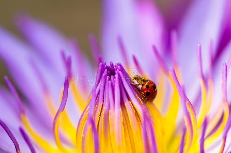 开花与瓢虫的荷花 免版税库存照片