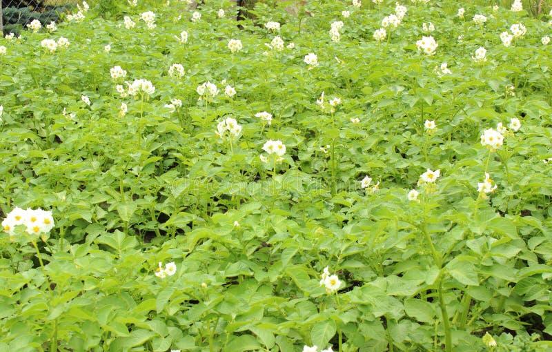 一棵土豆植物的白花在绿色的离开背景 照片拍摄时间: june 14th图片