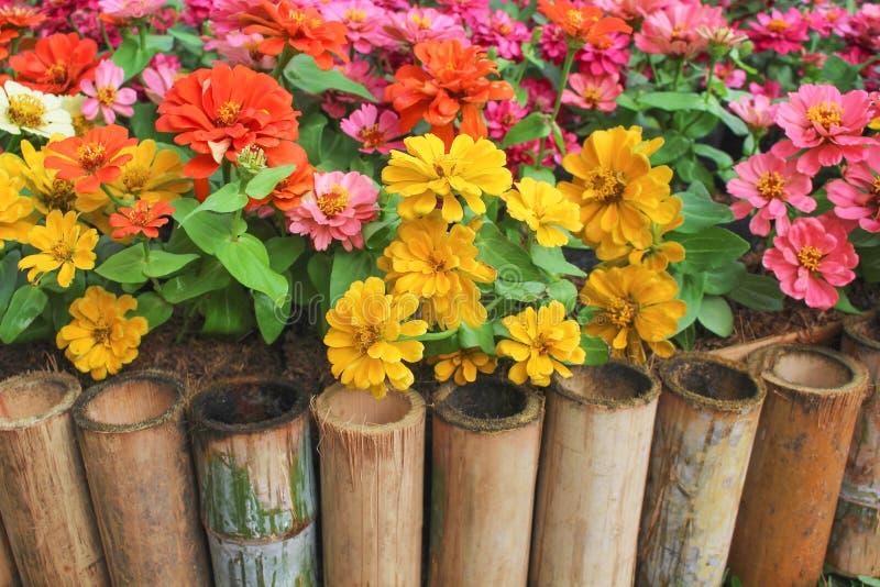 开花与竹篱芭的五颜六色的甜百日菊属violacea在庭院,自然多色的装饰物里 免版税库存图片