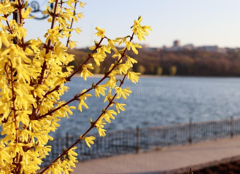 开花与黄色花的树 库存图片
