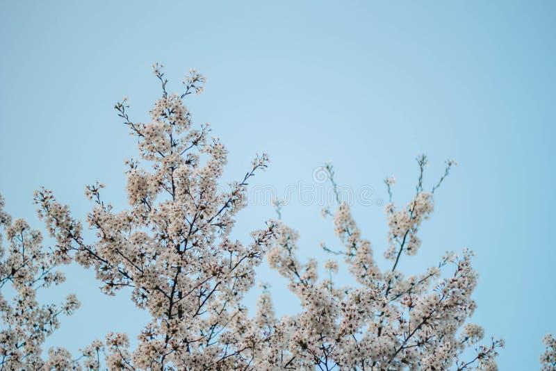 开花佐仓一处美好的风景在春天的在蓝天 免版税库存照片