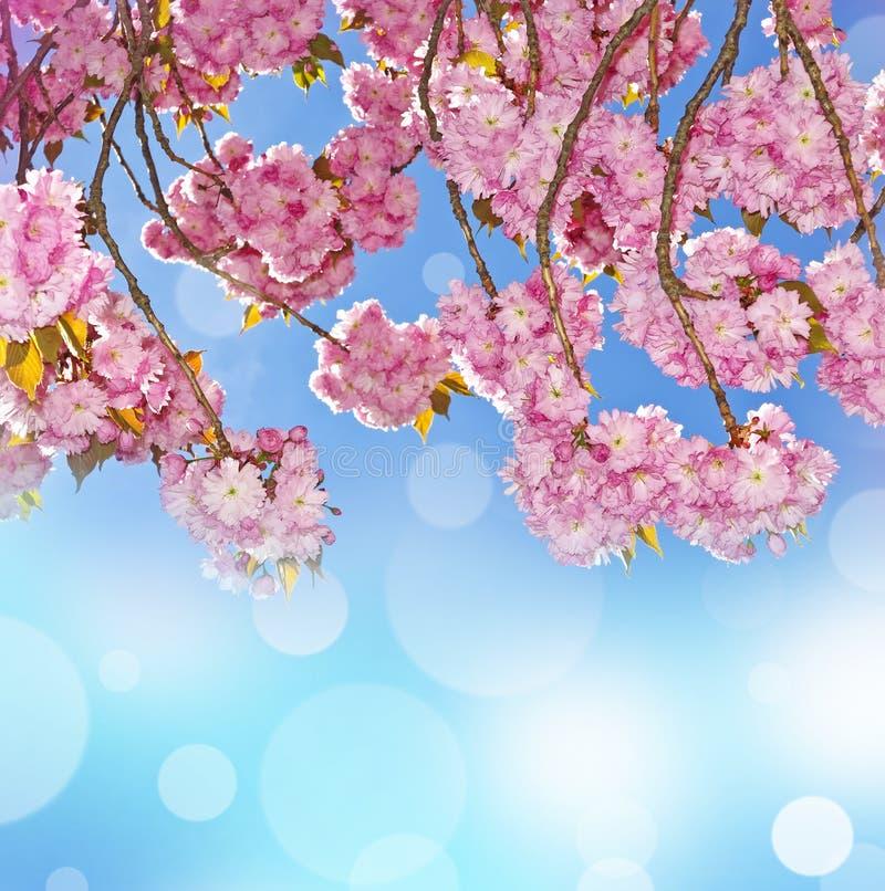 开花佐仓春天结构树的背景 免版税库存照片