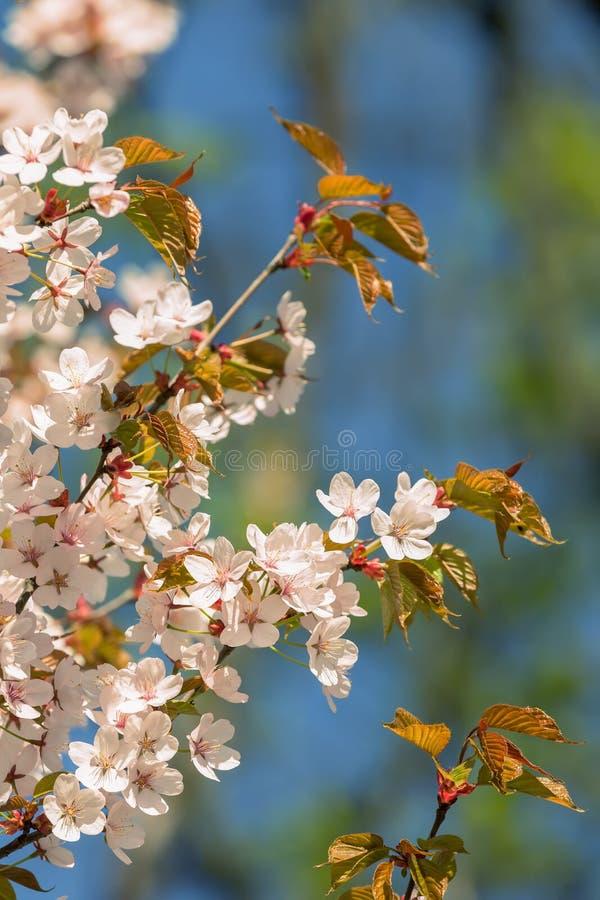 Download 开花佐仓弹簧 库存图片. 图片 包括有 颜色, beautifuler, 关闭, 日本, 特写镜头, 植物群 - 72358937