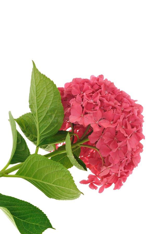 开花八仙花属查出的macrophylla白色 库存图片