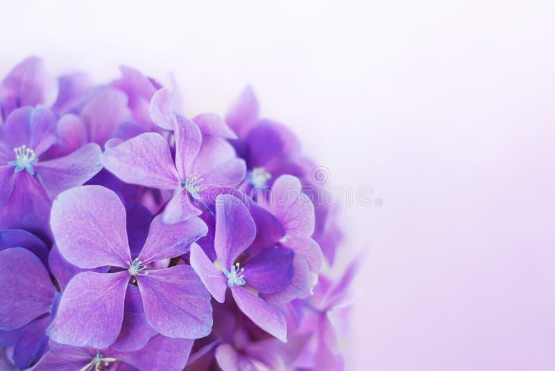开花八仙花属紫色 库存图片