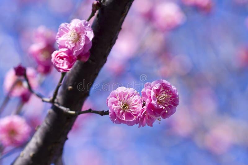 开花分支花桃红色李子春天 库存照片