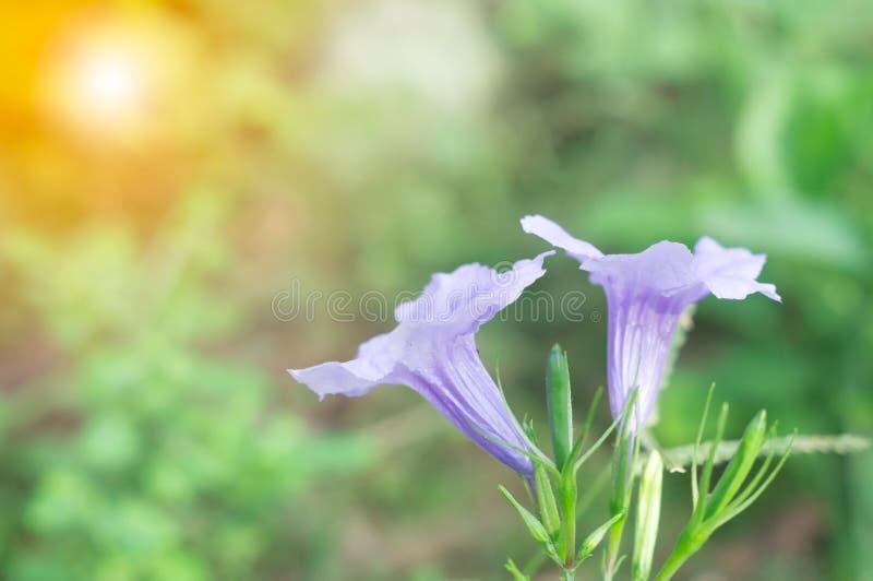 开花反对太阳光的美丽的紫色野花在森林边缘  库存图片