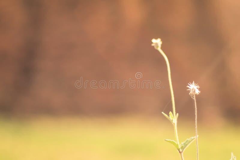 开花反对绿色背景的草迷离与软的焦点微型花在庭院背景中 免版税库存图片
