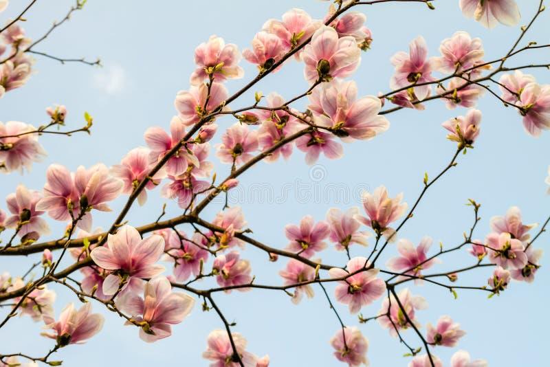 开花反对蓝天的木兰分支 免版税库存照片