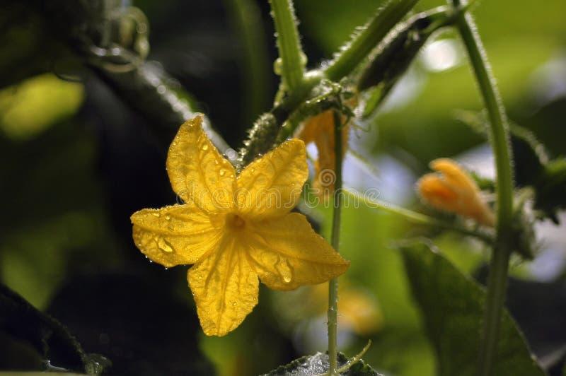 开花和成熟各种各样的cornichons黄瓜在浇灌以后 库存照片