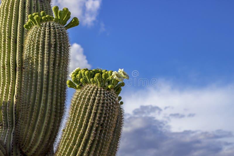开花和腾飞往天空的仙人掌胳膊 免版税库存照片