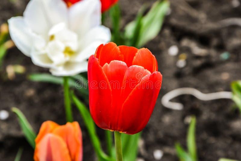 开花在一个庭院照片特写镜头的郁金香在一个夏日反对庭院花背景  库存图片