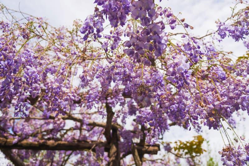 开花在一个晴朗的下午的春天庭院里的紫藤 库存照片