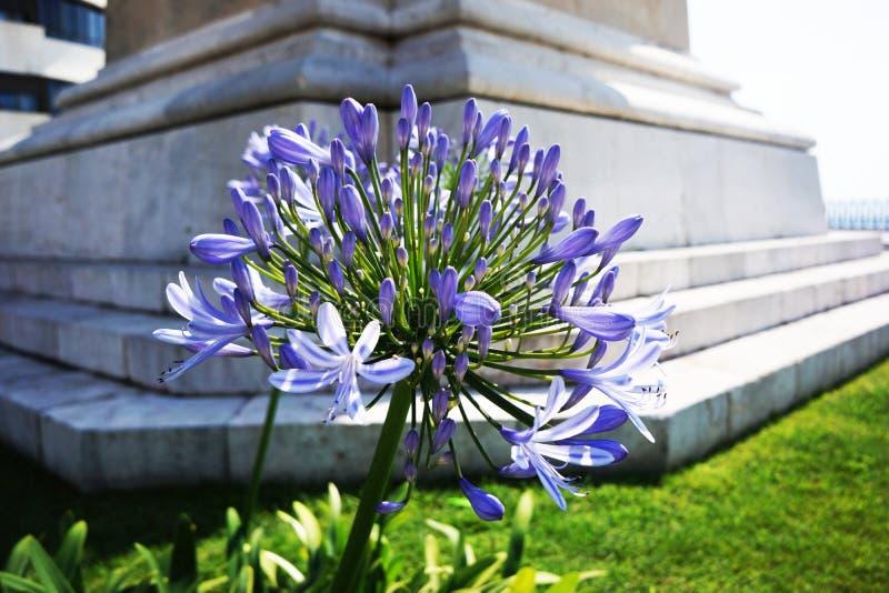 开花在一个热的夏日的装饰葱 库存图片