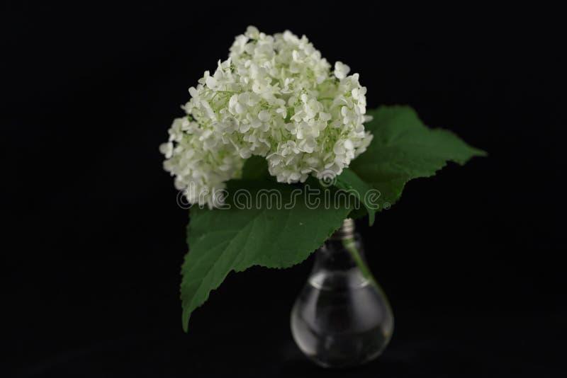开花在一个花瓶的黑背景隔绝的八仙花属有c的 库存照片