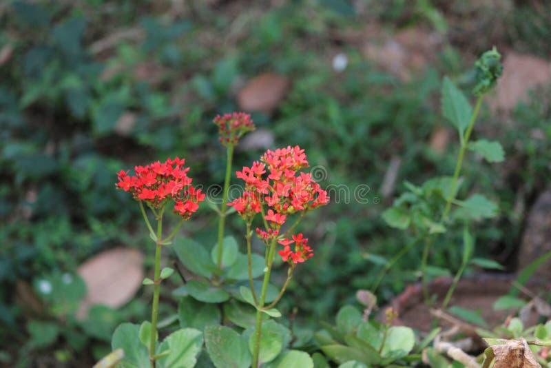 开花在一个茂盛的牧场的红色花 免版税库存照片