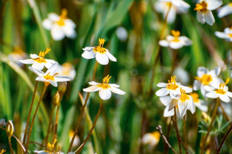 开花在一个草甸的易变的Linanthus Leptosiphon parviflorus野花在埃奇伍德县公园,旧金山湾区, 免版税库存图片