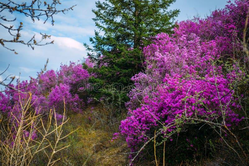 开花在与绿色树和蓝色多云天空的山坡的桃红色杜鹃花花美丽的景色  r 免版税库存图片