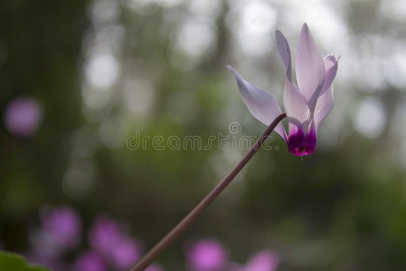 开花在以色列的仙客来 库存照片