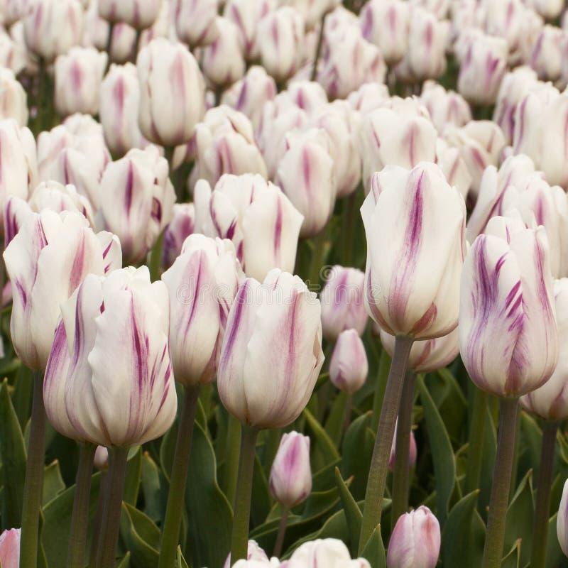 开花在公园或在庭院里的美丽的镶边郁金香 库存照片