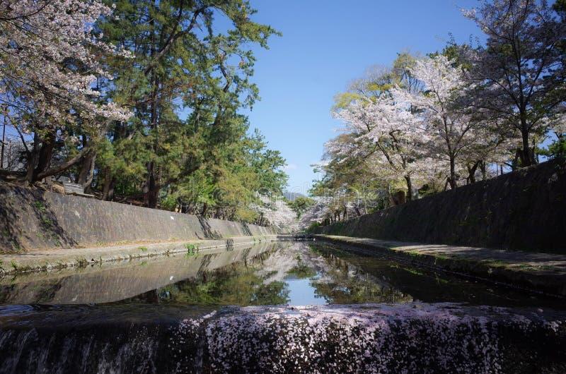 开花在公园的美丽的樱花树或佐仓 免版税库存图片