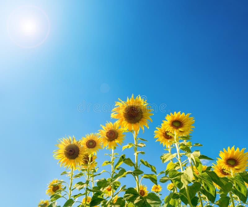 开花在农场的向日葵 库存图片