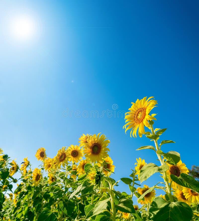 开花在农场的向日葵 免版税库存照片