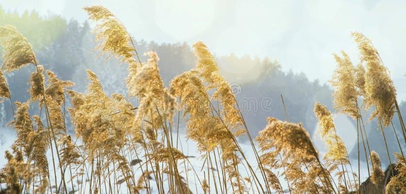 开花在冬天季节的干草甸 免版税库存照片