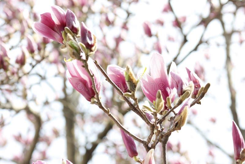 开花在分支的桃红色木兰花 库存图片