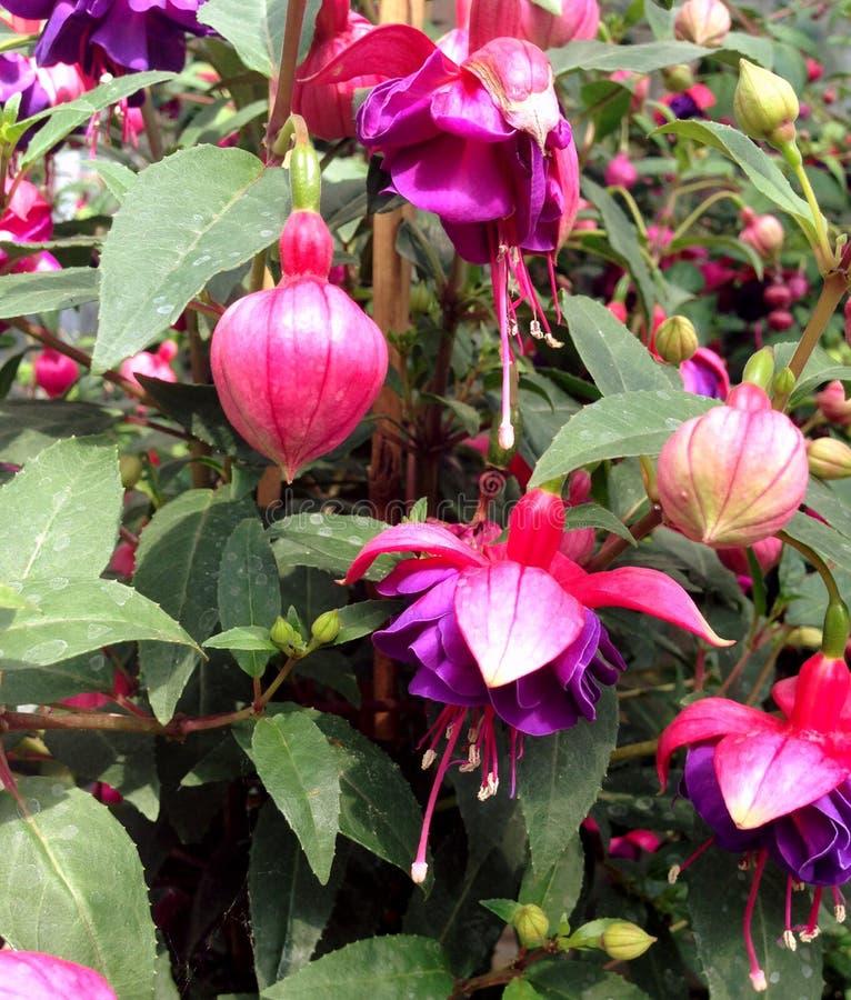 开花在初夏期间的明亮的色的紫红色的花 库存图片