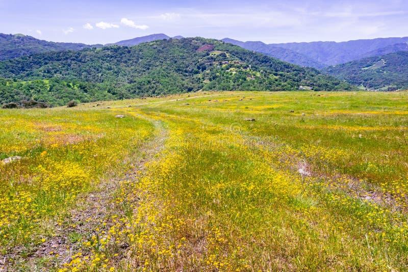 开花在南旧金山湾的Goldfield野花;嫩绿的小山可看见在背景中;圣荷西,加利福尼亚 免版税库存图片