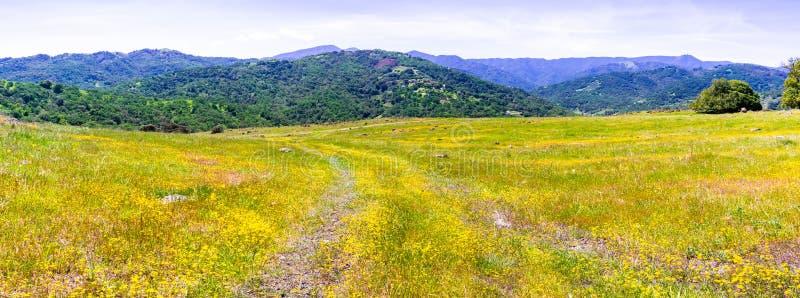 开花在南旧金山湾的Goldfield野花;嫩绿的小山可看见在背景中;圣荷西,加利福尼亚 库存图片