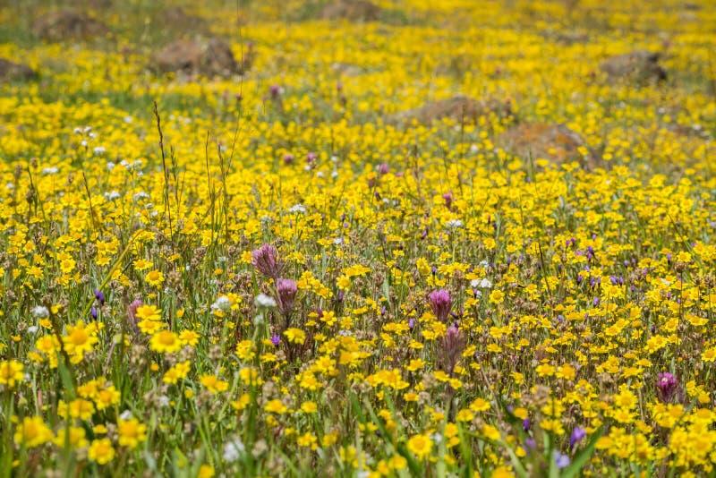 开花在南部旧金山湾,圣荷西,加利福尼亚的蜒蜒土壤的Goldfield野花 库存照片