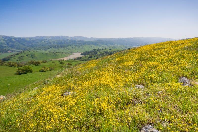 开花在南部旧金山湾,圣荷西,加利福尼亚的蜒蜒土壤的Goldfield野花 免版税图库摄影