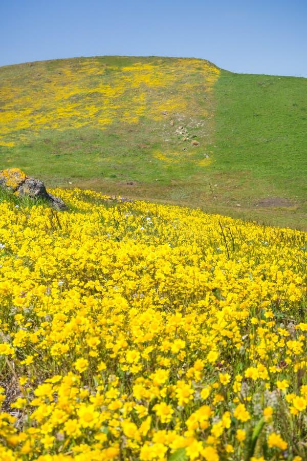 开花在南部旧金山湾,圣荷西,加利福尼亚的蜒蜒土壤的Goldfield野花 免版税库存图片