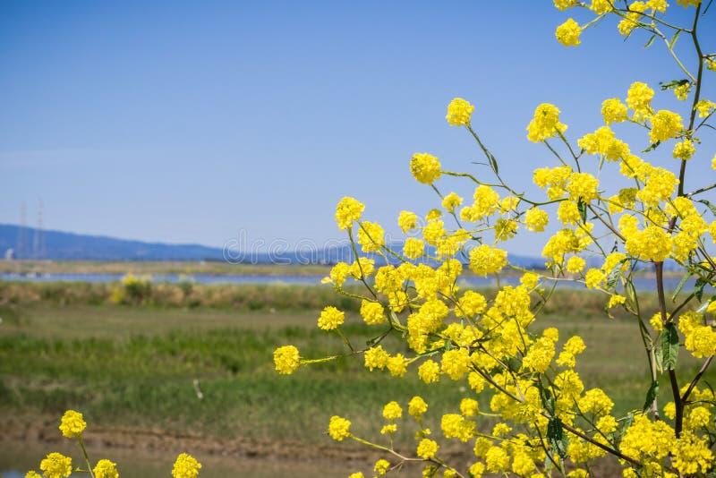 开花在南部旧金山湾,山景城,加利福尼亚堤坝的绿色芥末  免版税库存照片