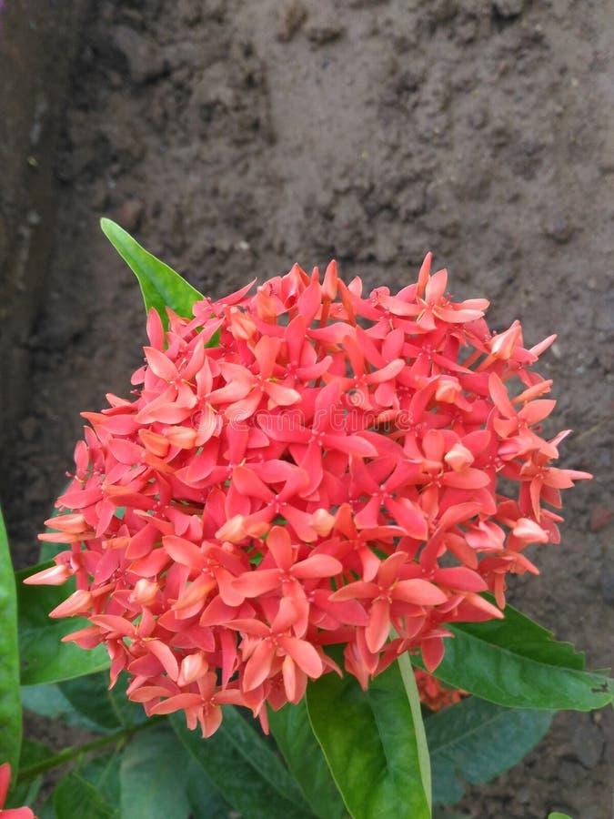 开花在同一棵植物中的独特的Ixora红色花在庭院里 库存图片