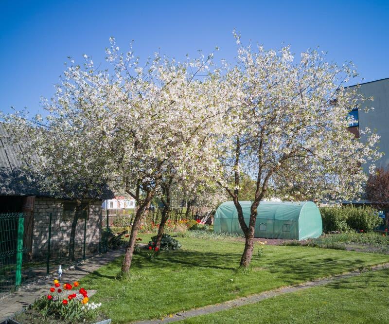 开花在后院庭院里的两棵美丽的樱桃树春天 图库摄影