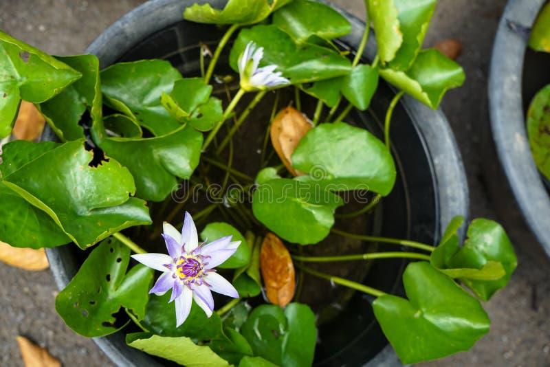开花在塑料罐的绿色叶子中的美丽的紫罗兰色颜色荷花或星莲属在地方从事园艺的商店 库存图片