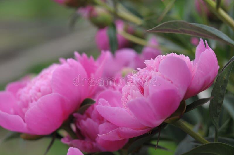 开花在夏天庭院里的桃红色牡丹花 库存图片