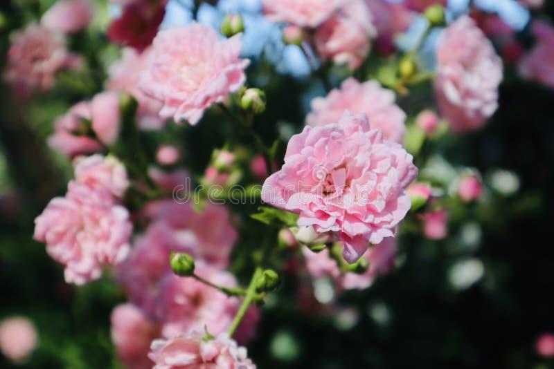 开花在夏天期间的桃红色狂放的玫瑰色花 免版税库存照片