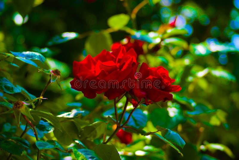 开花在夏天的美丽的红色花有退色的背景 免版税库存图片
