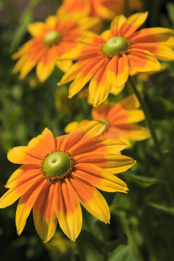 开花在夏天的黄色黄金菊花 库存图片