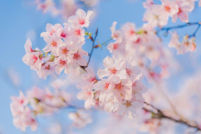 开花在天空蔚蓝下的樱花 免版税库存图片