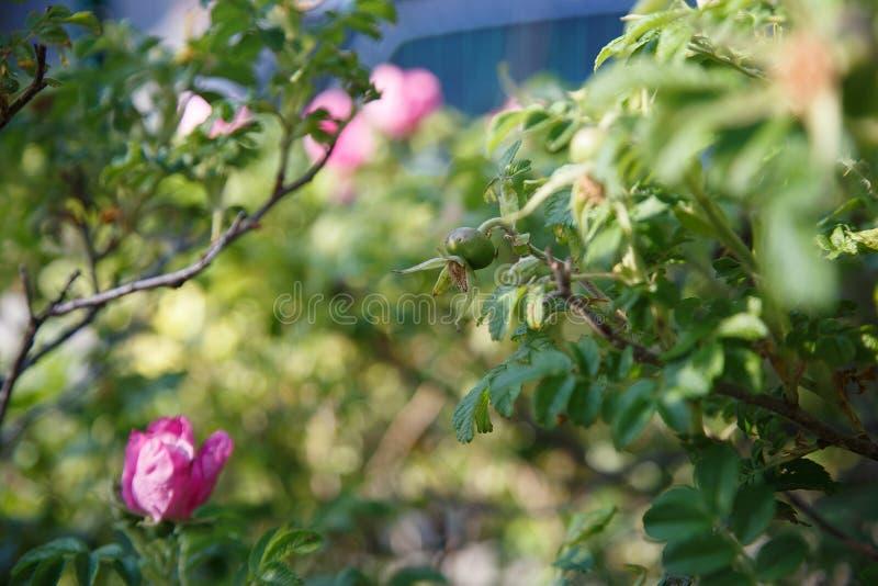 开花在庭院里玫瑰丛 免版税库存图片