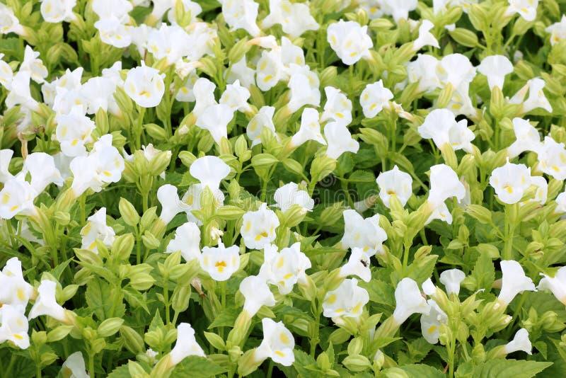 开花在庭院里的俏丽的白花 免版税库存照片