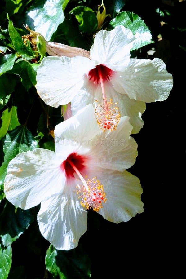 开花在庭院里的削去软的白色木槿花 ?? 免版税库存图片