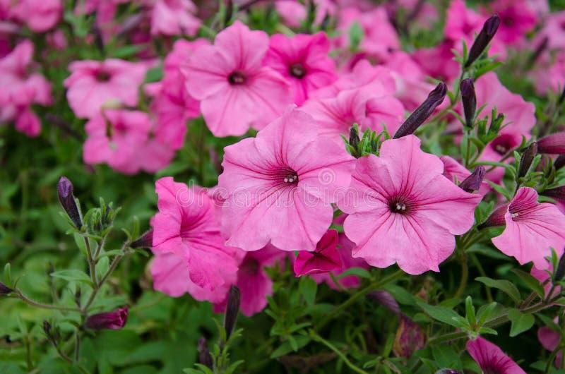 开花在庭院里的喇叭花 免版税库存图片
